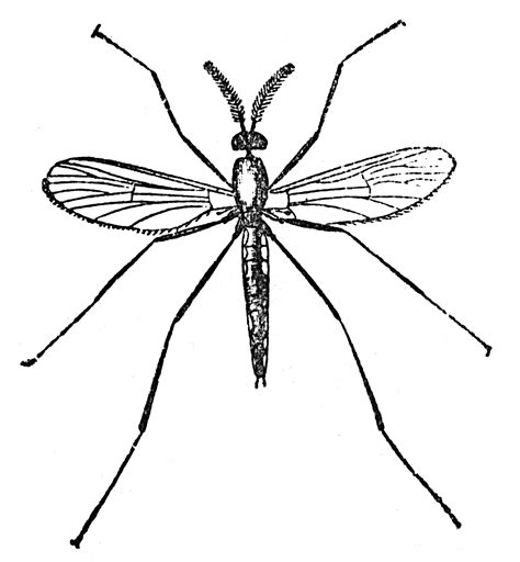 How To Draw A Gnat