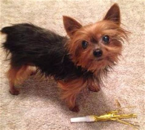 what is the expectancy of a yorkie yorkie age equivalent and maturity rate
