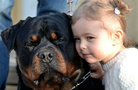 rottweiler reason 16 reasons rottweilers are not the friendly dogs everyone says they are