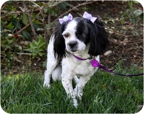 king charles cavalier shih tzu mix cavalier king charles spaniel breeds picture