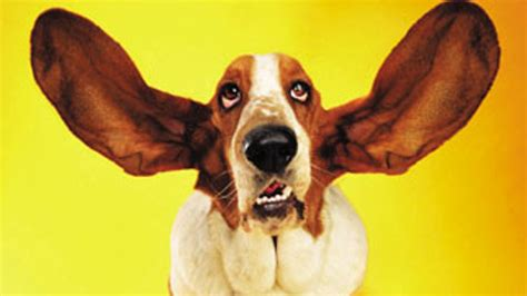 dogs with big ears different big dogs trend home design and decor