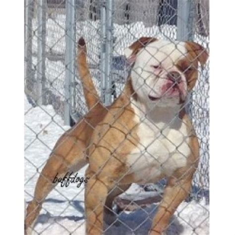 buff dogs buffdogs american bulldog breeder in byers colorado listing id 19008