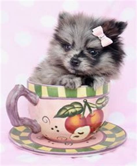 teacup pomeranian puppies for sale brisbane 1000 images about tea cup dogs on puppies for sale tea cups and teacup