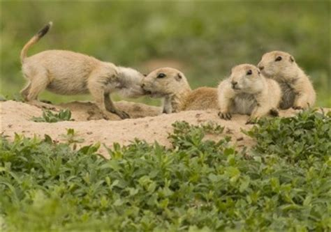 where do prairie dogs live prairie facts lesson for study