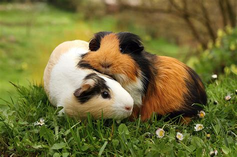 should you tip groomers should you bath your guinea pigs essential do s and don ts for grooming your gp