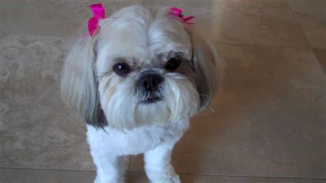 shih tzu likes and dislikes shih tzu doing tricks