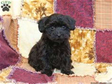 petfinder yorkie poo this is what i am looking forward black yorkie poo grown black