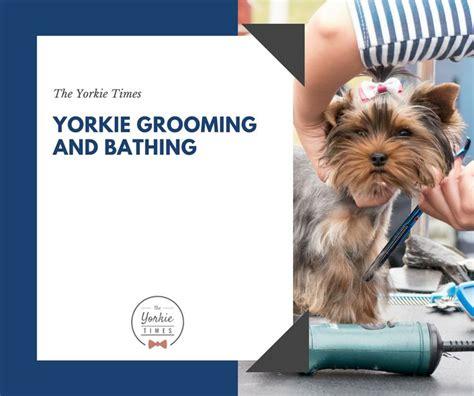 yorkie medium ears 28 best easter yorkie images on pinterest yorkie