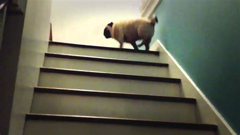 pug the magician magic pug the stairs are lava pug