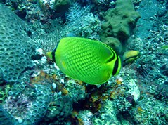 Latticed Butterfly Fish
