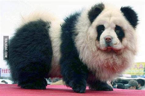 tibetan mastiff price 12 best images about blue blood bulldog on poodles hercules and