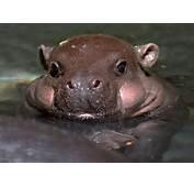 Chubby Baby Hippo  1Funnycom