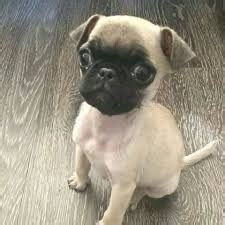 guppy the pug image result for guppy the pug laurex guppy animal and puppys