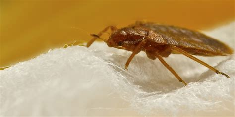 how bed bugs spread bed bugs spreading diseases