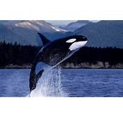 Hd Orca Killer Whale Wallpaper With A Jumping Out Of
