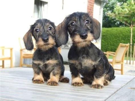 wire haired dachshund puppy wire haired dachshund puppies cutest puppies