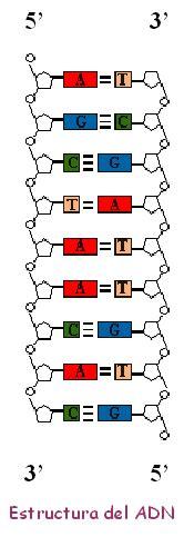 cadena de adn bases nitrogenadas cursos 0