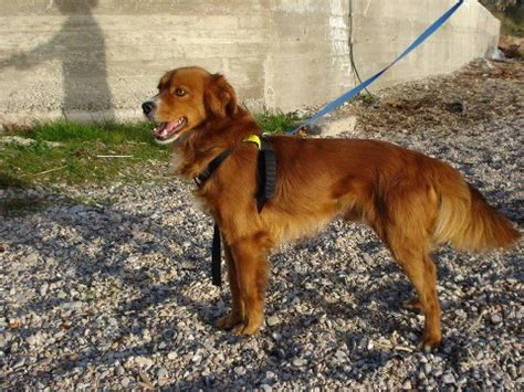 setter cross dog rescue setter cross dogs for adoption and rescue