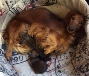 chien elevage d teckel eleveur de chiens