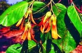 berita kalimantan tengkawang tumbuhan khas kalimantan barat