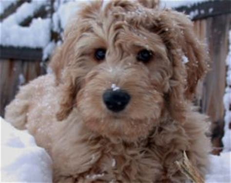 mini doodle puppies mn goldendoodle puppies for sale in minnesota mn breeders