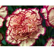 The Most Common Kinds Of Carnations Are Annual Border And
