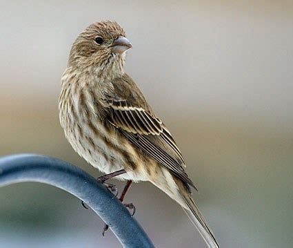 female house finch cassin s purple house know all six inches of these
