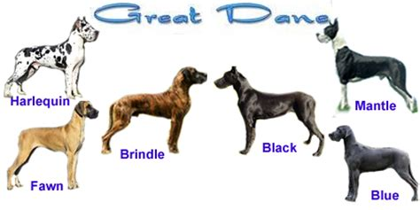 colors of great danes great dane fur colors pictures to pin on pinsdaddy