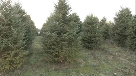 christmas tree farmers say soggy weather a gift to