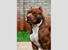 What a monster! Red nose american pitbull terrier. Huge ... Huge Pitbull Attack