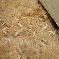 Moths My Carpet Carpet Moths Who Pays For New Carpets Property118