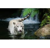 White Tiger Beautiful Wallpapers  HD