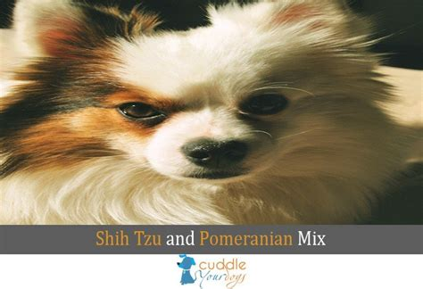everything you need to about pomeranians shih tzu and pomeranian mix everything you need to