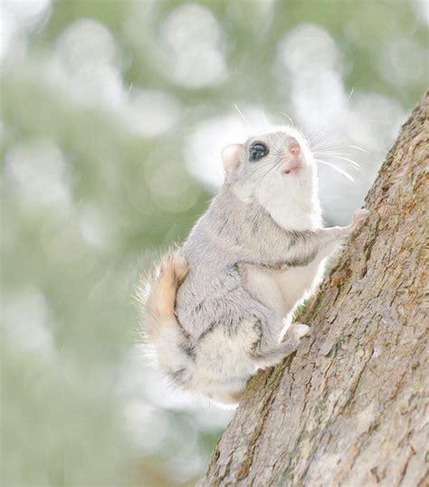 scoiattolo volante giapponese l isola con la pi 249 alta concentrazione di animali teneri