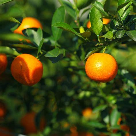 when do satsuma trees produce fruit bloomsz owari satsuma mandarin tree 1 5 year 08159