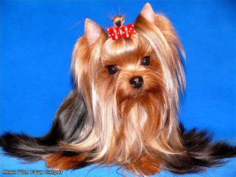 regalia yorkies terrier durrer s still the one