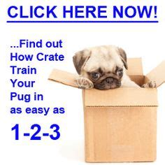 are pugs easy to care for 1000 images about pug problems on pug behavior and a pug