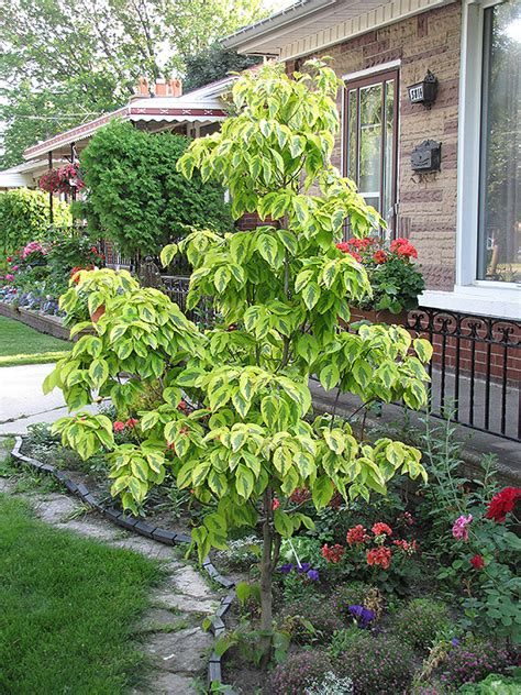 cherokee daybreak flowering dogwood cornus florida