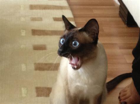 This Surprised Cat : photoshopbattles