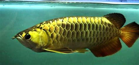 Anakan Ikan Arwana 15cm ini dia cara memilih anakan arwana yang bagus