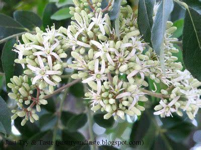 Bibit Tanaman Pohon Kari Salam Koja manfaat daun kari daun salam koja daun temuru just try taste