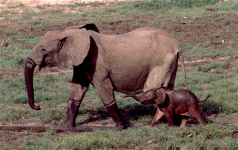 Forest Elephant Babies