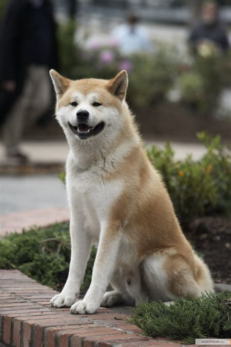 hachi the hachi the that waited 9 years for his master to return to him amnimals