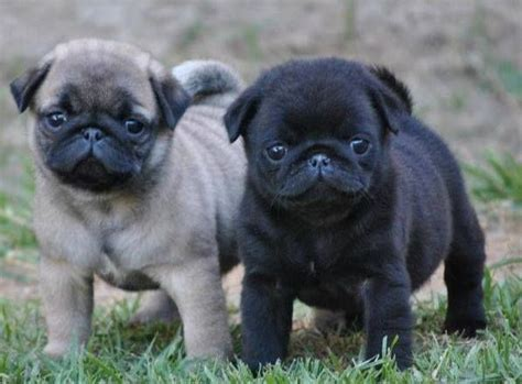 cutest pug puppies pug puppies pug puppies