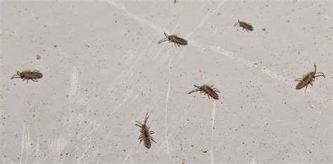 springtails in bed bug eric springtails