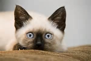 siamese-<strong>kitten</strong>.jpg