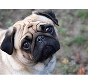 Pugs Images Beautiful Pug ♥ HD Wallpaper And Background Photos