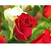 The Wallpapers Hot Point Beautiful Rose Flowers For