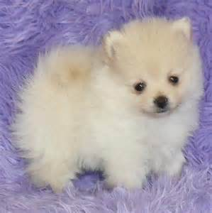 Pictures of cute white pomeranian puppies for cute homes now jpg