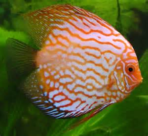 Animals World: sea animals of variety discus fish information